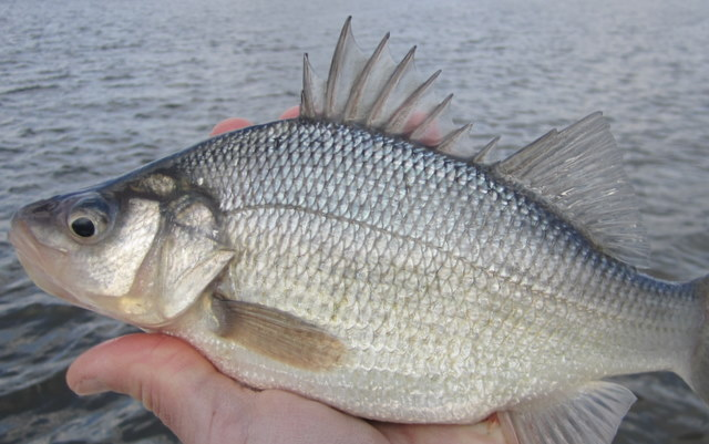 Some white perch tips for White perch fishing rigs