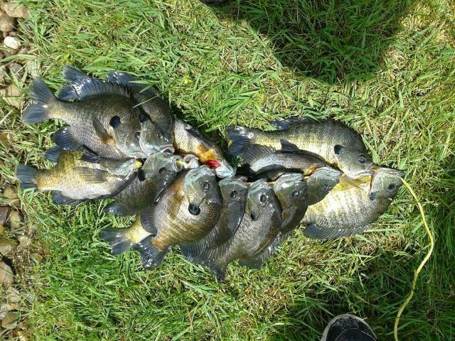 Bluegill tips for Local fishing ponds