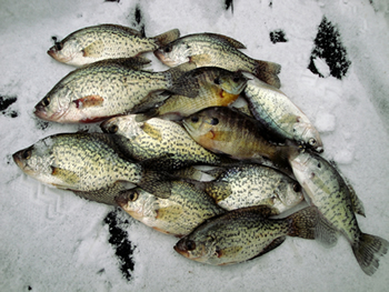 Maumee river and ice fishing report february 6 2018 for Maumee river fishing report